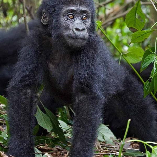 Habituated Chimpanzee tracking