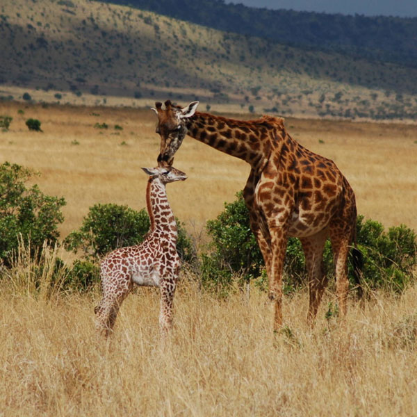 Lake Nakuru – Masai Mara (315 kms)