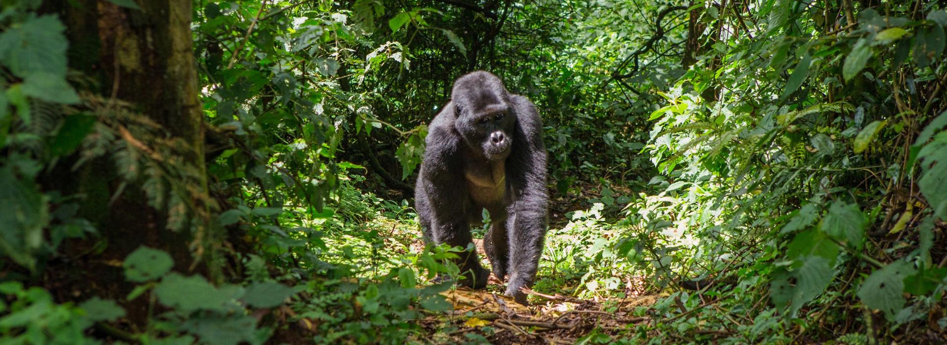 4 Days Rwanda Chimpanzee Trekking