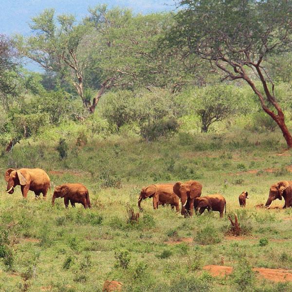 Salt Lick – Tsavo East (60 kms)
