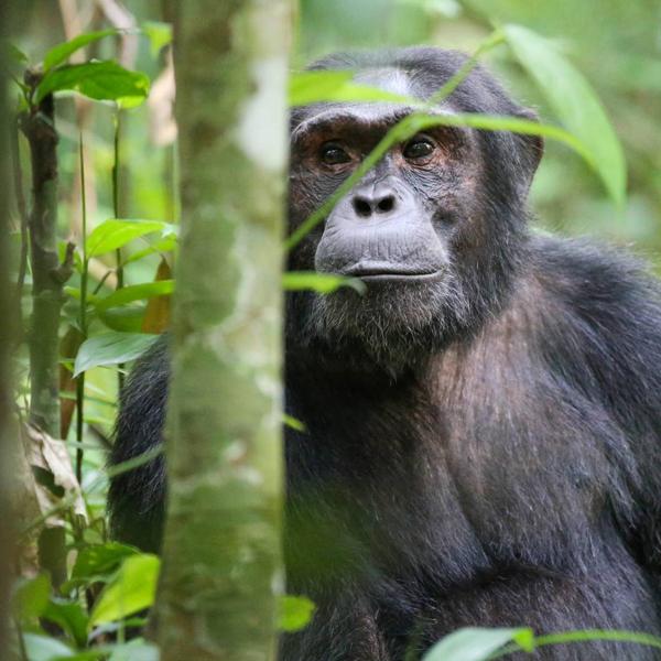 Kibale Park Chimpanzee Trekking – Uganda