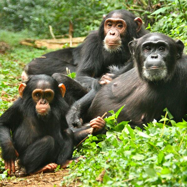 Bwindi Impenetrable Forest Gorilla Trekking – Uganda