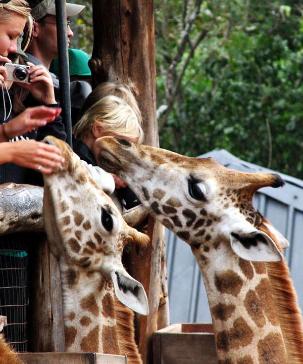 Excursion to the Giraffe Centre