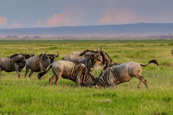 5 Days Masai Mara (Wildebeest Migration Safari), Lake Nakuru, Aberdare Lodge Safari