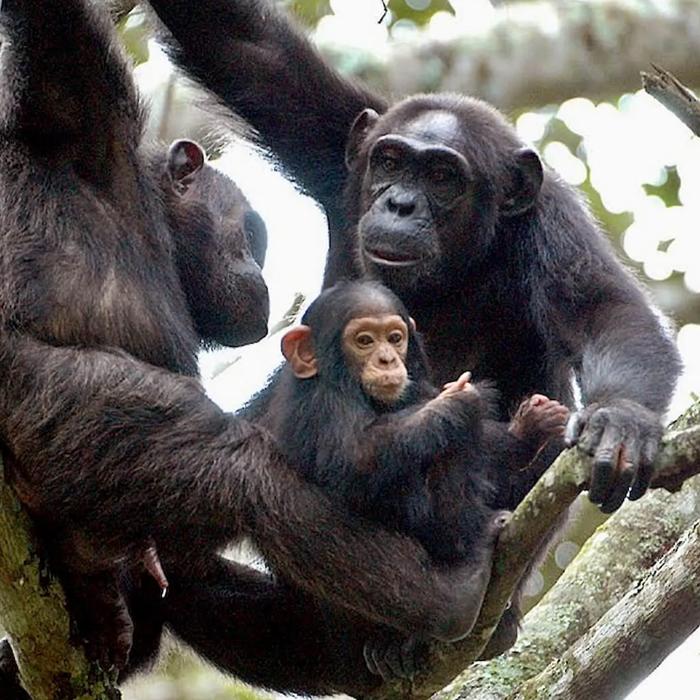 7 Days Uganda Chimpanzee Tracking