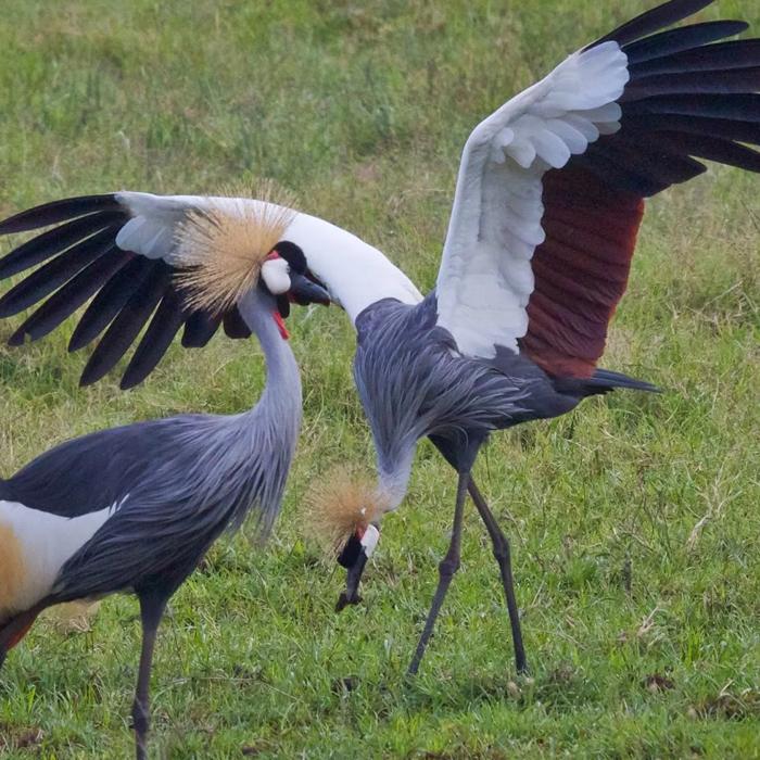 7 Days Uganda Birding Safarii